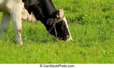 Cow eats grass