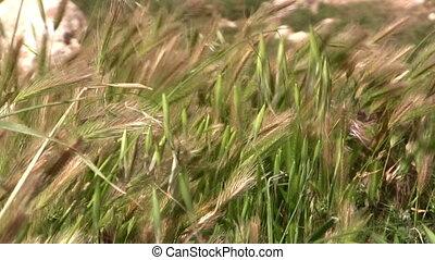 rye field - summer landscape of rye field