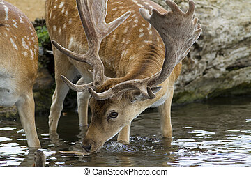 Male stag deer drinking water - A male fallow deer stag...