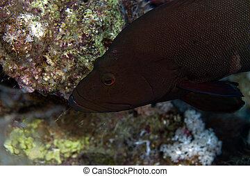 Giant clam in the Red sea. - Giant clam in the Red sea