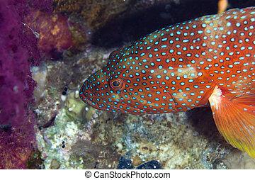 Coral hind in the Red sea. - Coral hind in the Red sea