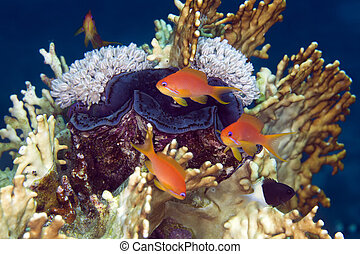 Giant clam and anthias in de Red Sea. - Giant clam and...