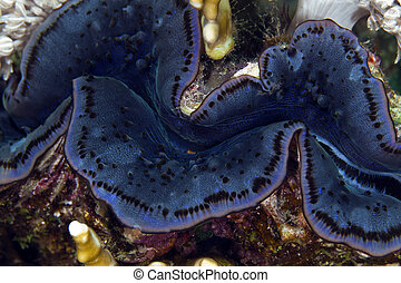 Giant clam in de Red Sea. - Giant clam in de Red Sea