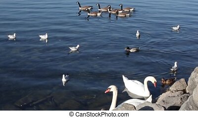 Duckies And Swans On The Lake - Duckies and swans on...