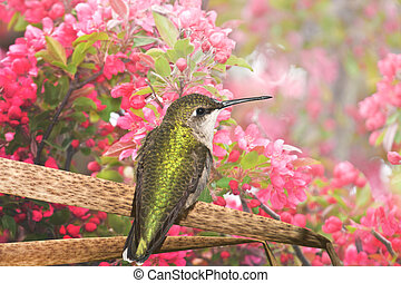 Ontario birds - Humming bird enjoying apple blossom.