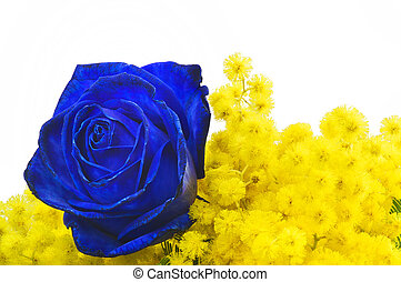 Blue rose and mimosa close up on white background