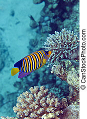 Regal anglfish in the Red Sea - Regal angelfish in the Red...