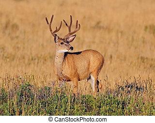 Mule Deer Buck - Mule Deer (Odocoileus hemionus) Buck with...