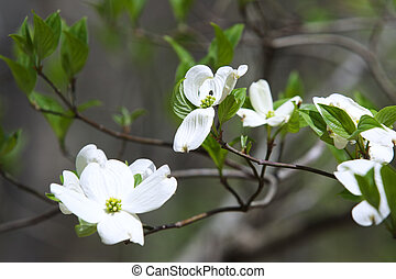 Flowering Dogwood Tree - Lovely Dogwood tree in bloom