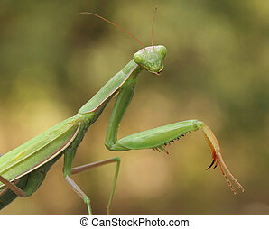 Praying Mantis - Closeup of Prying Mantis Waiting for its...