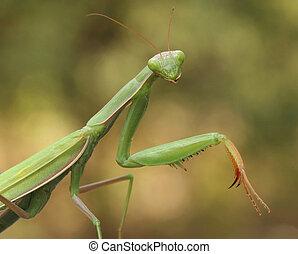 Praying Mantis - Closeup of Prying Mantis Waiting for its...