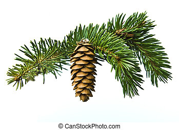 The branch of spruce and cone on white background - The...