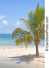 tropical beach of Mauritius - growing coconut palm tree on...