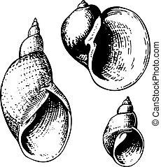 Seashell lymnaeidae - Three seashell lymnaeidae isolated on...