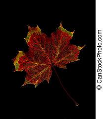 Maple Leaf isolated on Black background