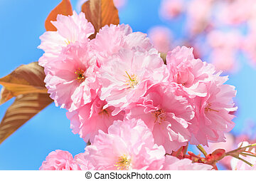 Close up of blooming cherry over blue