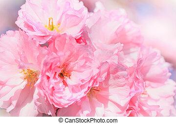 Close up of blooming sakura