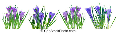 spring crocuses isolated on white - border of spring...