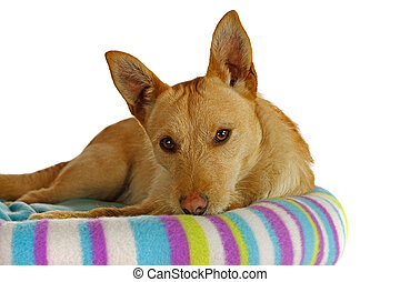 Jack Russel Terrier in a dog bed