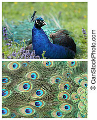 Indian Peafowl - details of an indian peafowl