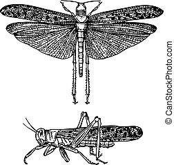 Locust schistocerca gregaria - Locusts schistocerca gregaria...
