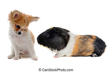 puppy chihuahua and Guinea pig - portrait of a puppy...