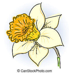 Daffodil narcissus - Hand drawn illusthration of daffodil...