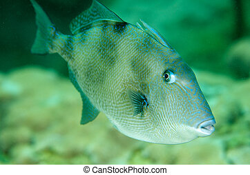 A Gray Triggerfish swimming over a coral reef.