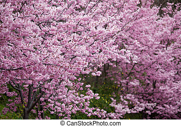 Cherry blossoms in full bloom - The annual ~ March Wuling...