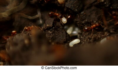 Ants moving their larva - Macro - Ants moving their larva...