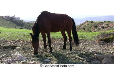horse eating grass - Handsome brown horse eating grass