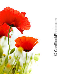 art poppies over a white background, green and red floral...