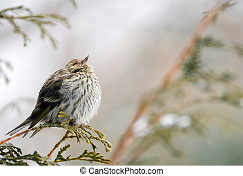 Pine siskin in winter.