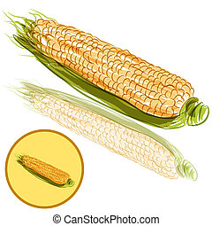 Ear of Corn - An image of a ear of corn.
