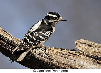 Female Downy Woodpecker - Stopped by my feeder today to see...