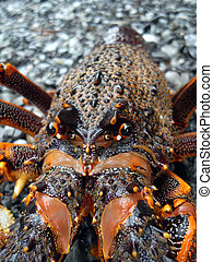 Lobster - New Zealand - Lobster close up detail - New...