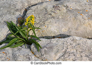 Flower - Solitary flower growing out of a crack in a boulder