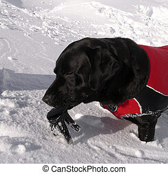 Avalanche dog with glove - Avalanche dog found a hidden...