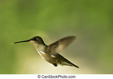 zümmögés, madár