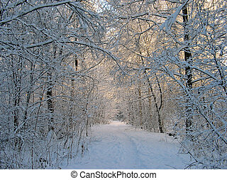Forest in snow - Foot path in forest with snowy trees in...