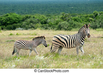 Burchell Zebra - Mother and baby Zebras standing on a grass...