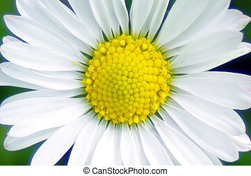 Daisy flower isolated in the garden