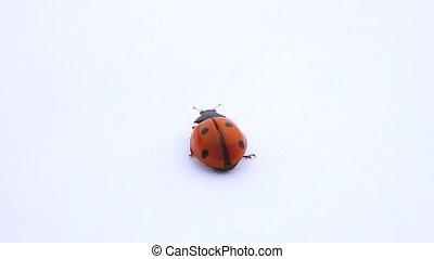 ladybug red with black spots dance