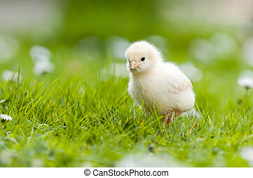 Young Chick in the garden - Easter chick in the garden with...