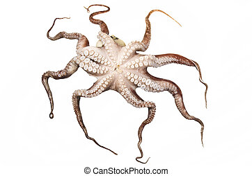 octopus on the white background