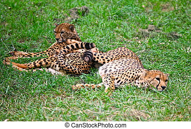 Chilling Cheetahs - Cheetahs resting at Nairobi National...