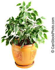 Ficus in a flowerpot isolated on the white