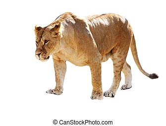 Lioness stands - Big beautiful lioness stands