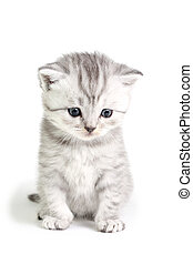 Little kitten sitting - Little british kitten isolated on...