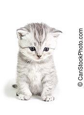 Little kitten sitting - Little british kitten isolated on...